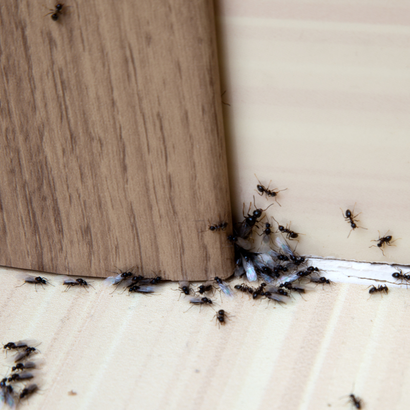 ants in a home