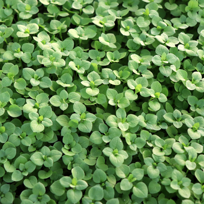 Spring lawn care services from Turf Pro Outdoor Solutions can prevent chickweed and other weeds from invading your Kentucky lawn.