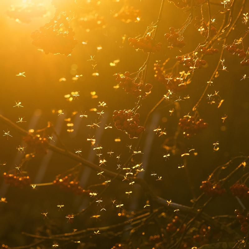 mosquito swarm at sunset