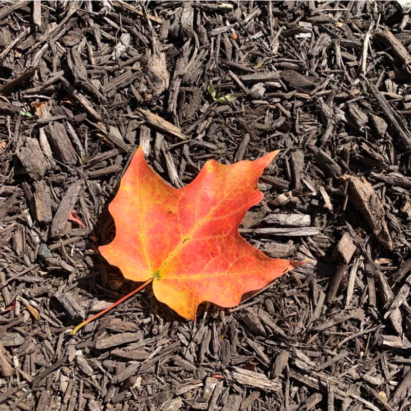fall leaf on mulch
